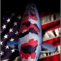 American Koi