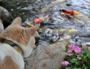 Cats and garden ponds full service aquatics for Koi pond maine coon cattery