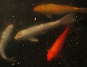 What happens to pond fish in winter full service aquatics for Koi pond temperature
