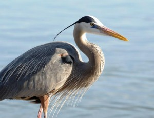 Encountering Great Blue Heron On >> The Great Blue Heron And Your Pond Full Service Aquatics