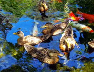 Backyard Duck Ponds designer duck ponds - full service aquatics