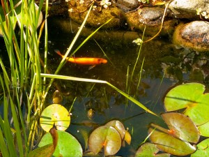 golden orfe pond fish New Jersey