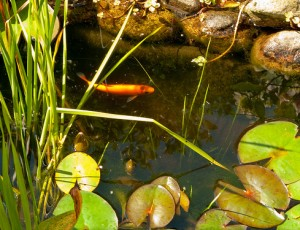 Golden Orfe Is Great Choice For The Backyard Pond Or Water Garden