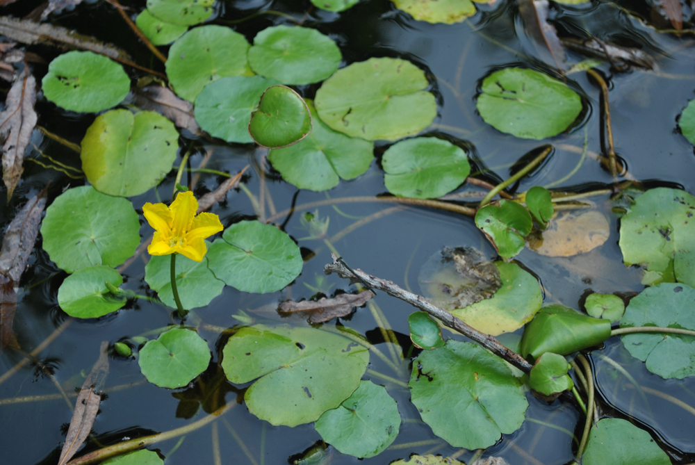 Water garden pond plants guide madison new jersey for Easy to care for outdoor flowering plants