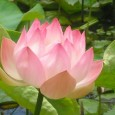 Summit NJ Lotus Flowers & Pond Service | Full Service Aquatics