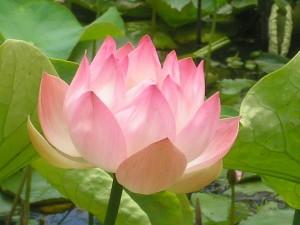 Summit NJ Lotus Flowers & Pond Service | Full Service Aquatics