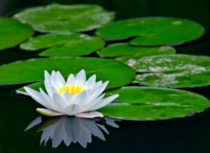 Summit NJ Waterlilies & Waterlily Pond | Full Service Aquatics