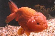 Lionhead Goldfish Swimming