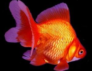 Ryukin full service aquatics for Ornamental fish pond maintenance