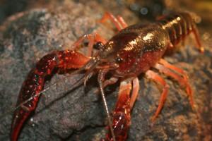pond crayfish nj