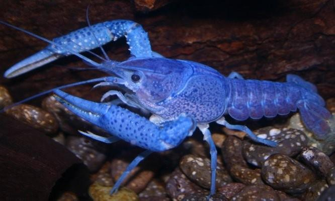 Female Electric Blue Lobster Freshwater Crayfish