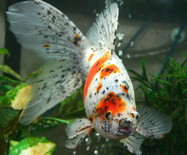 Shubunkin poor man 39 s koi for Ornamental pond fish for sale