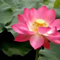 lotus flower summit, nj