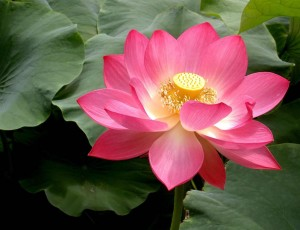 Lotus Flower Is Much More Than Meets The Eye It Meets The Palate Too