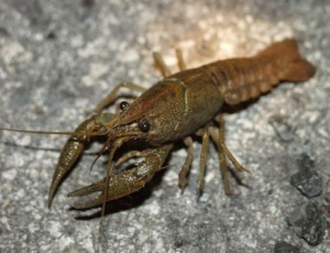 Crayfish for your pond can be a good choice to make  Find