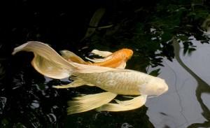 Morristown NJ Butterfly Koi & Dragon Koi | Full Service Aquatics