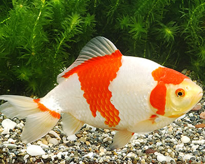 Japanese koi garden pond fish guide in new jersey full for Hardiest pond fish