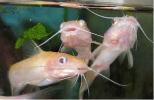 golden channel catfish nj