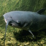 catfish in the pond