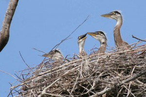blue heron chicks new jersey ponds