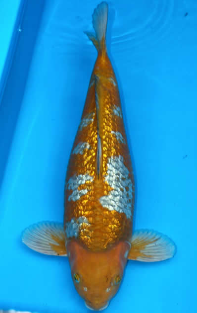 Japanese koi garden pond fish guide in new jersey full for Green koi fish for sale