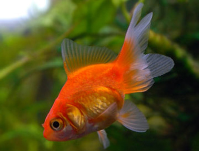 Fantail goldfish - photo#16