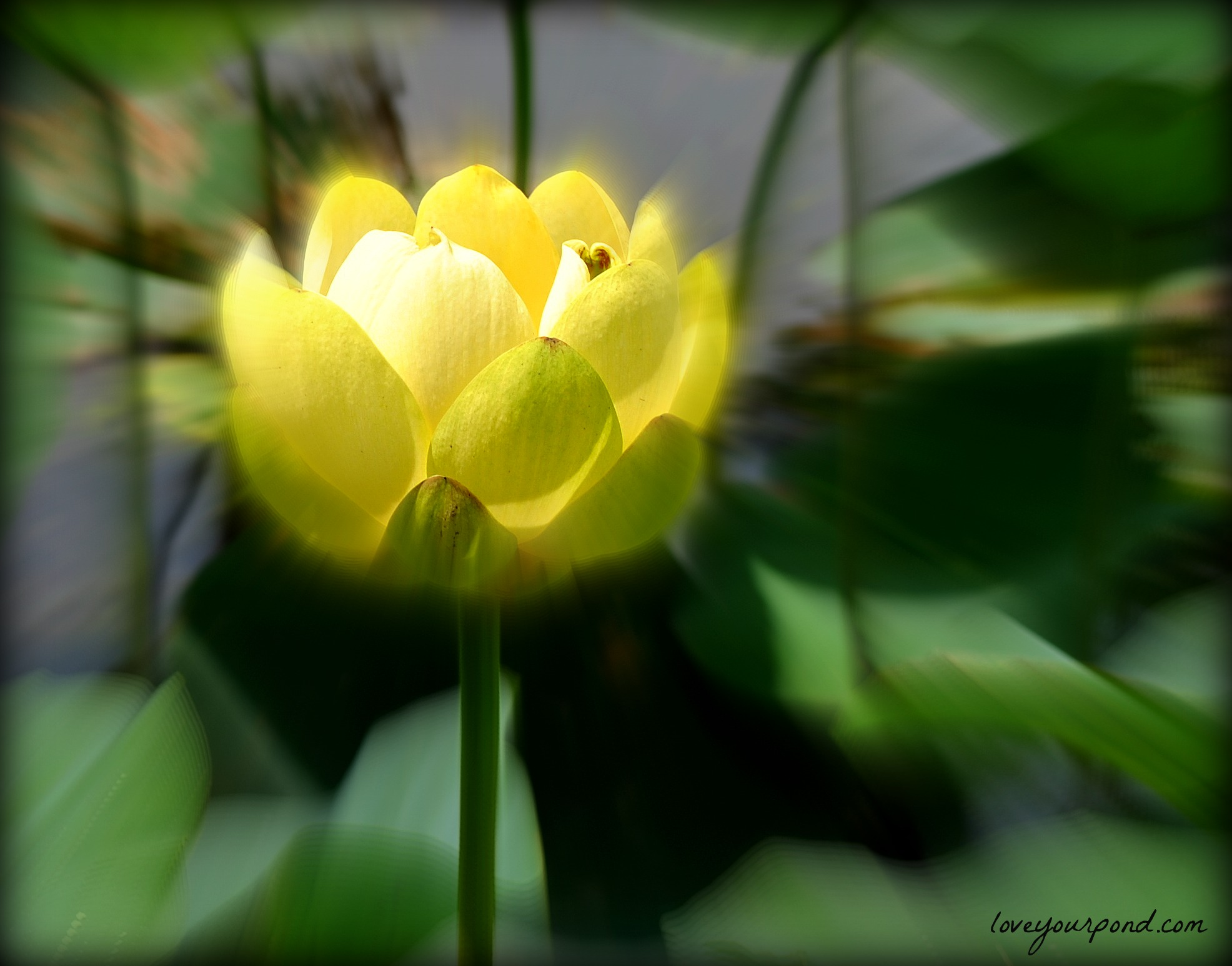 The Amazing Lotus Flower Full Service Aquatics