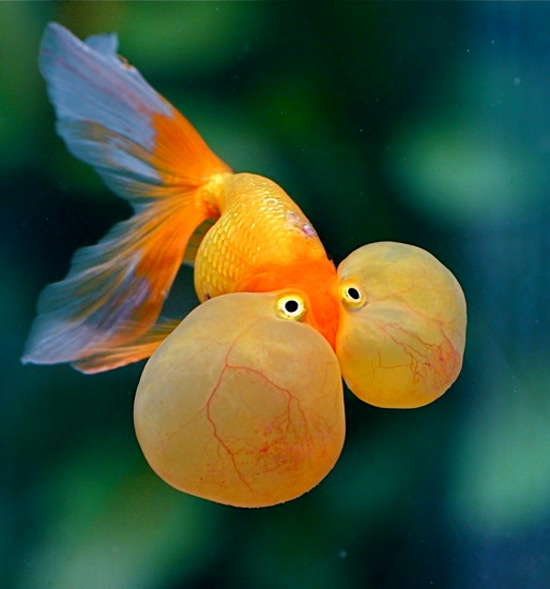 Japanese koi garden pond fish guide in new jersey full for Funny fish pictures