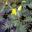 Sensitive Plant New Jersey Water Garden Guide