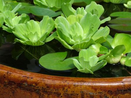 Water Lettuce Pond Plants - How To Grow Water Lettuce