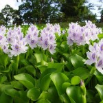 water hyacinth new jersey