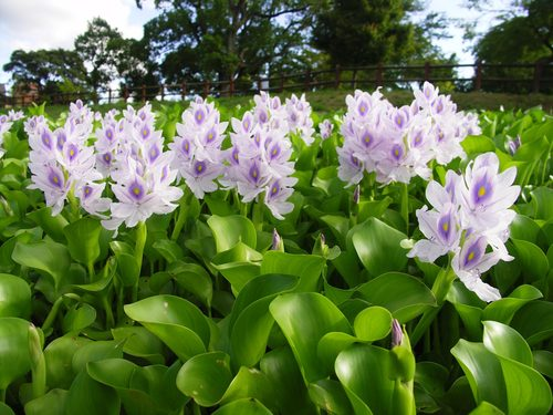 Water Hyacinth Is A Popular Water Garden Plant But Did