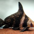 Chinese Hi Fin Shark