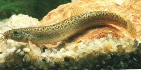 The weather loach , or dojo loach, is a fun and interesting addition ...