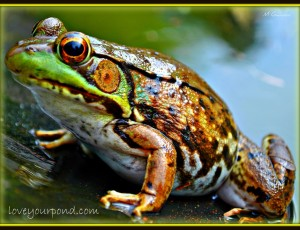FROGS AND BACKYARD WATER GARDEN PONDS Full Service Aquatics